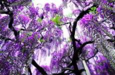 Глициния выращивание и уход, способы размножения и видовое разнообразие фото