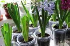 Луковичные садовые и комнатные цветы фото и названия, описание, время цветения