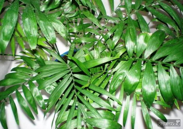комнатные цветы и уход за пальмами в домашних условиях