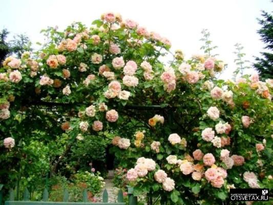 Всё о плетистых розах