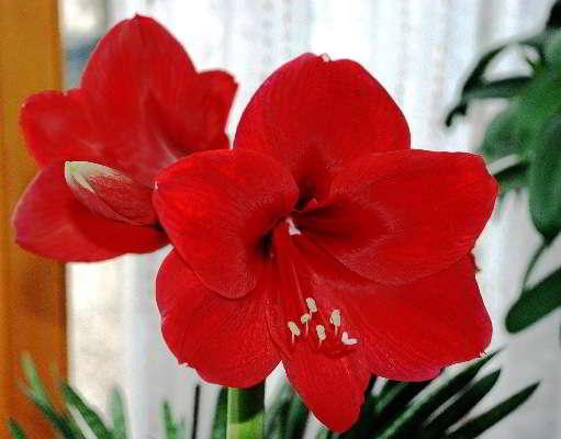 цветок комнатный фото название
