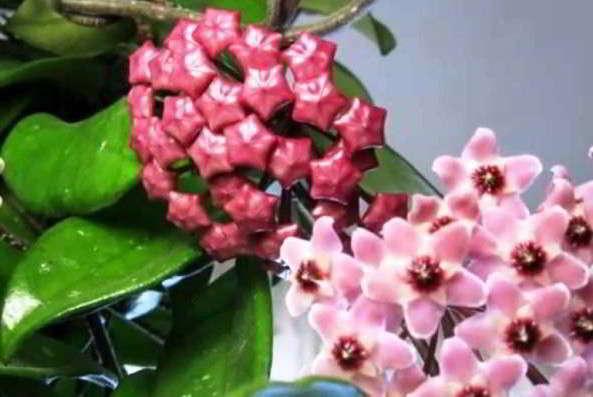 цветущие луковичные комнатные растения фото и названия