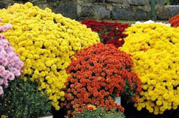 хризантема садовая многолетняя посадка и уход фото корейская