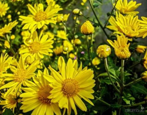 хризантема в горшке уход в домашних условиях отзывы