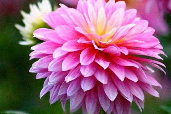 хризантема садовая многолетняя посадка и уход фото на зиму