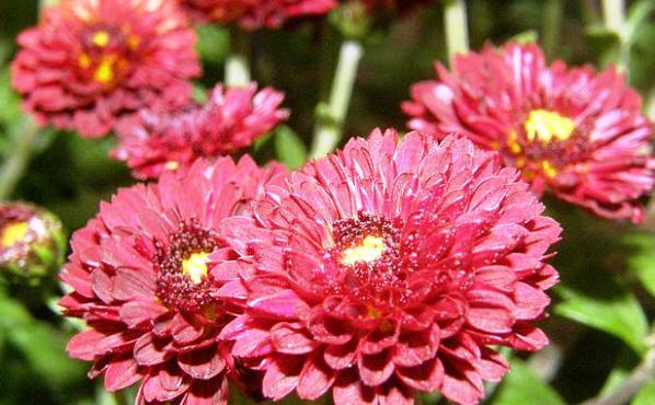 хризантема садовая многолетняя посадка и уход фото мультифлора