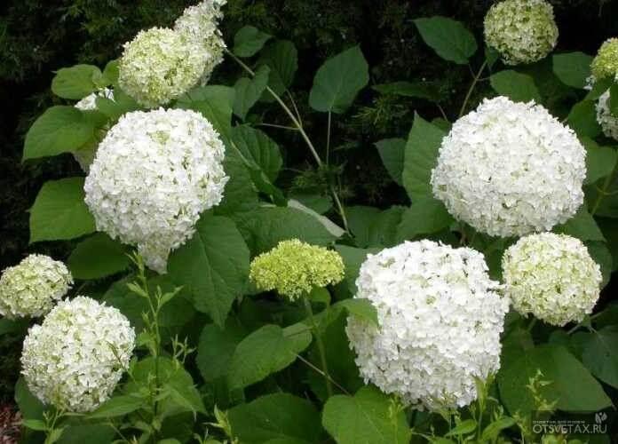 гортензия садовая посадка и уход в открытом грунте размножение
