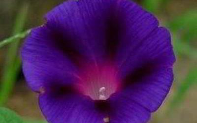 Ипомея пурпурная: посадка и уход фото когда сеять семена дома, в грунт