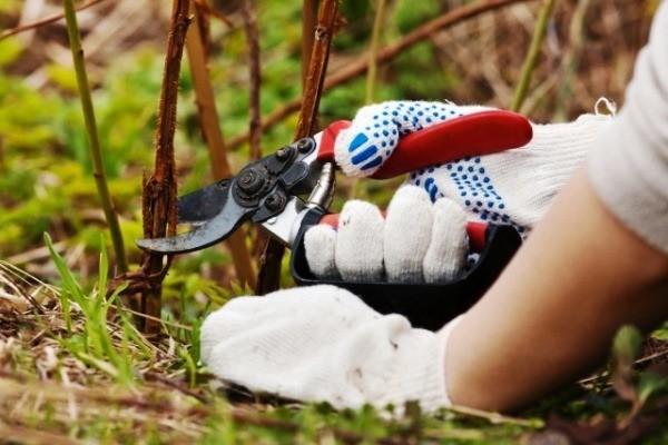 обязательно ли обрезать ремонтантную малину осенью