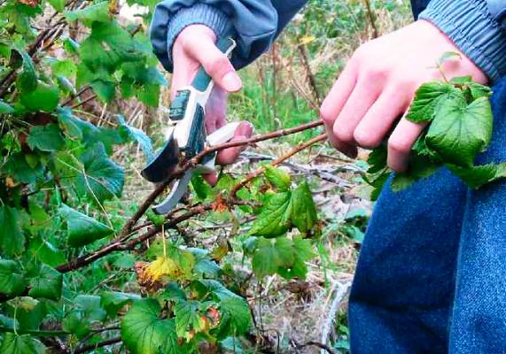 как обрезать кусты смородины осенью