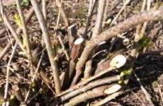 Смородина осенью: как и чем обрезать молодой и взрослый куст