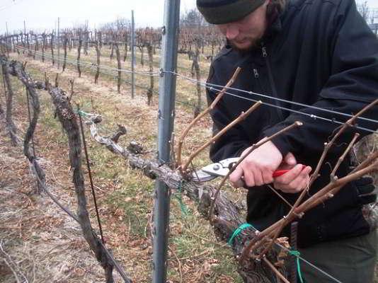 обрезка винограда осенью картинки