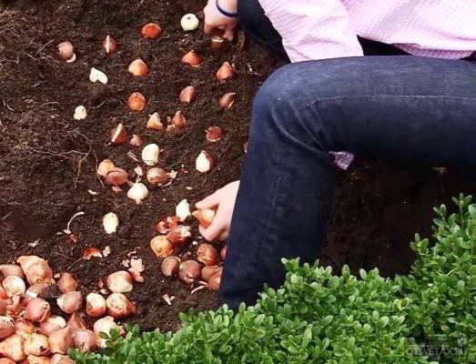 тюльпаны когда сажать луковицы осенью в спб