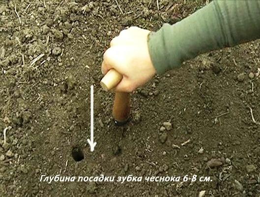 посадка озимого чеснока осенью