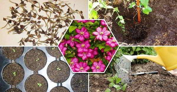 вырастить клематис из семян в домашних условиях