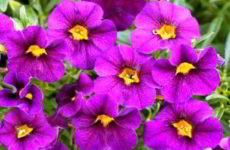 Калибрахоа: выращивание и уход в открытом грунте, домашних условиях