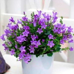 Кампанула — цветок «жених и невеста» уход в домашних условиях