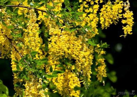 живая изгородь быстрорастущая многолетняя вечнозеленая купить в спб
