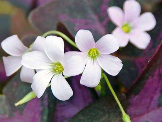 цветок комнатный луковичный фото
