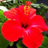 цветы комнатные цветущие фото с названиями с красными цветами