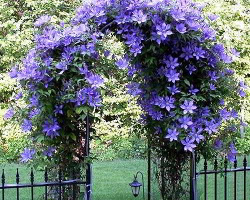 цветок клематис фото