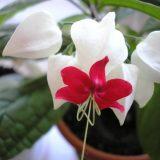 цветы комнатные цветущие фото и названия клеродендрум