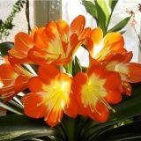 цветы комнатные цветущие фото и названия кливия