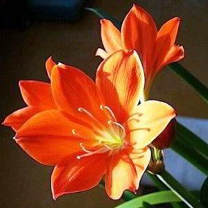 Кливия: уход в домашних условиях фото цветущей капской лилии