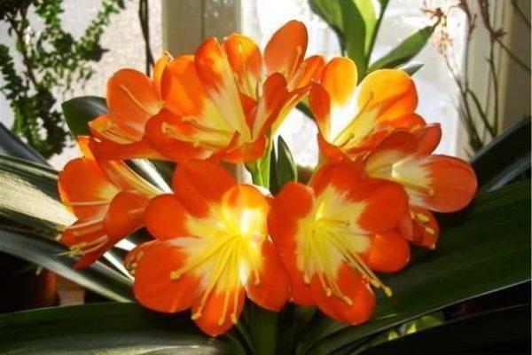 вьющиеся цветущие комнатные растения фото и названия