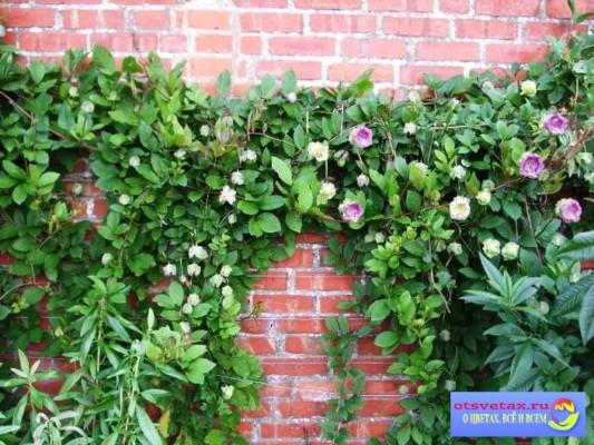 купить вьющиеся растения для забора быстрорастущие