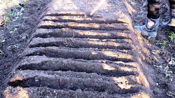 посадка чеснока осенью под зиму