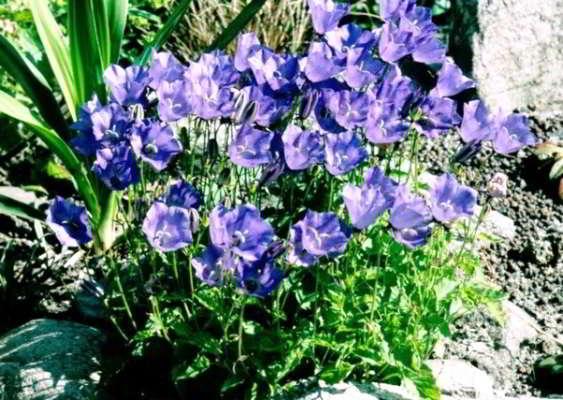 колокольчик карпатский выращивание из семян