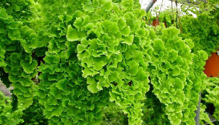 Комнатное растение адиантум