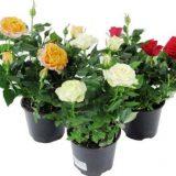 домашние цветы фото с названиями цветущие уличные цветы