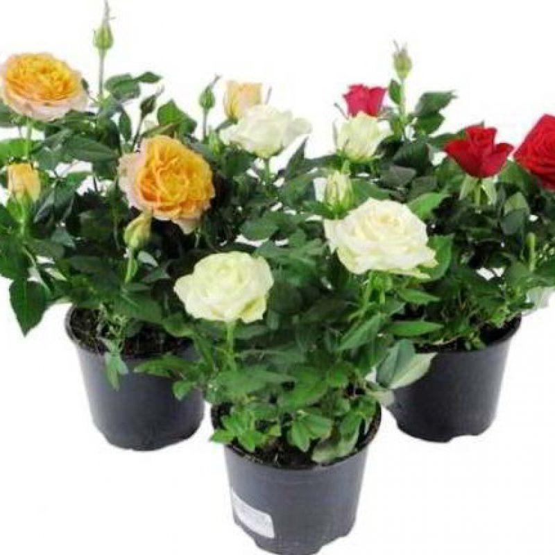 Цветы домашние роза