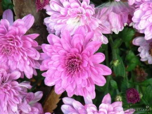 хризантема как ухаживать в домашних условиях видео