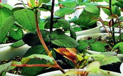 Как вырастить розы из семян в домашних условиях