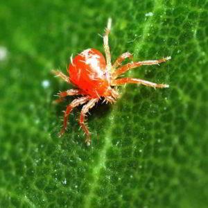 Красный паутинный клещ на комнатных растениях лечение народными средствами