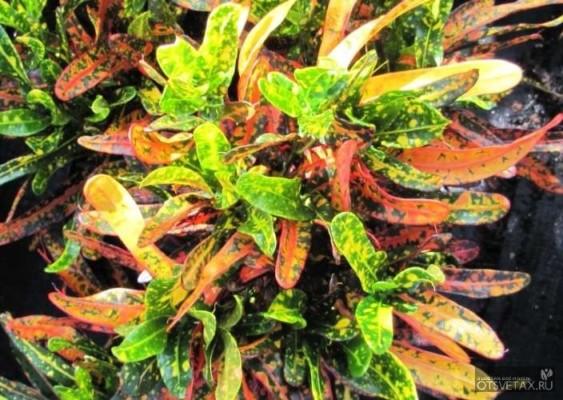 уход за цветком кротон в домашних условиях