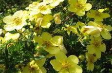 Лапчатка кустарниковая: посадка, уход и выращивание