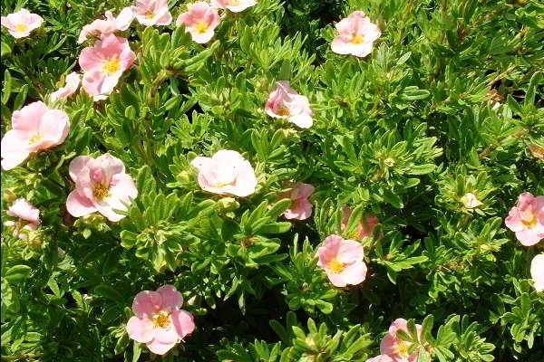 выращивание лапчатки кустарниковой