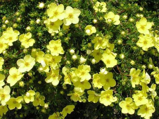 цветущие кустарники многолетники фото