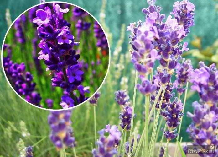 какие цветы сажают осенью семенами фото описание многолетники