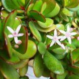 денежное дерево уход в домашних условиях цветение родина