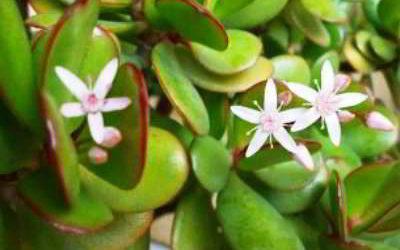 Денежное дерево: цветение и уход в домашних условиях
