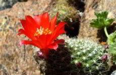 Лесные кактусы эпифиты — кто это?