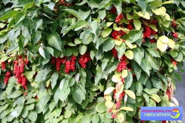 вьющиеся растения для забора быстрорастущие названия