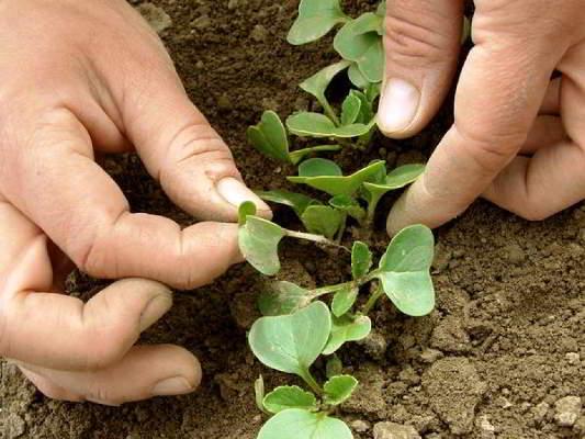 лобелия ампельная посадка и уход фото когда сеять семена