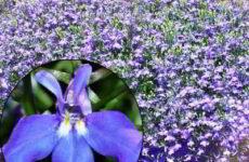 Лобелия: посадка и уход, фото, когда сеять семена в грунт