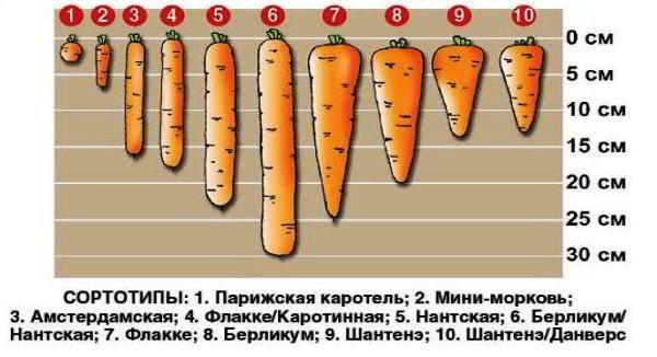 лучшие сорта моркови фото